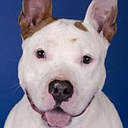 Photo 3 - American Staffordshire Terrier/Pit Bull Terrier Mix Dog for adoption in Chicago, Illinois - China