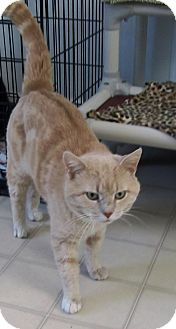 American Shorthair Cat for adoption in Burgaw, North Carolina - Mr Tibbs