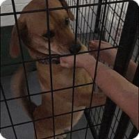 Adopt A Pet :: Oliver 2 - Las Vegas, NV