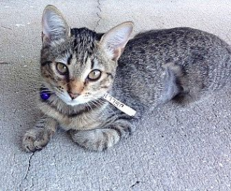 Domestic Shorthair Cat for adoption in Oviedo, Florida - Jellie