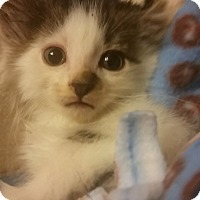Domestic Shorthair Kitten for adoption in Rockford, Illinois - Noah