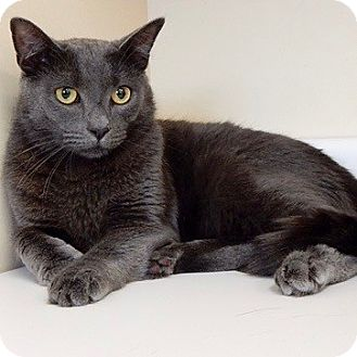 Russian Blue Cat for adoption in Long Beach, New York - Argento