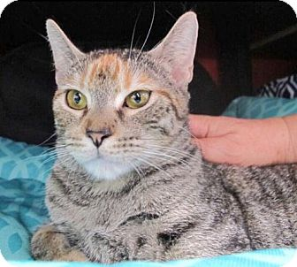 Domestic Shorthair Cat for adoption in Brooklyn, New York - Kayla: Loving and Lovely