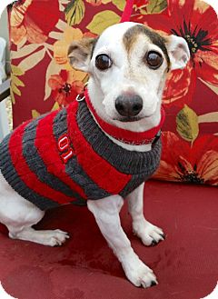 Jack Russell Terrier Dog for adoption in Linden, New Jersey - Izzy