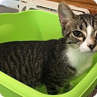 Domestic Shorthair Kitten for adoption in Naperville, Illinois - Skittles-5 MONTHS