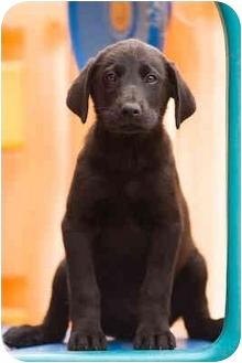 Labrador Retriever/German Shepherd Dog Mix Puppy for adoption in Portland, Oregon - Gin