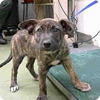 Pit Bull Terrier Mix Puppy for adoption in San Bernardino, California - URGENT 10/11 @ DEVORE