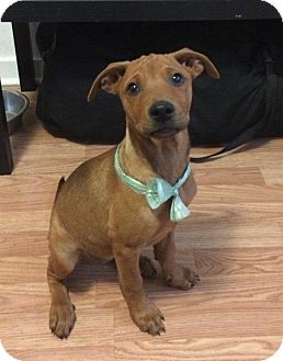Shepherd (Unknown Type) Mix Puppy for adoption in Fort Collins, Colorado - Roo (DENVER)