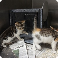 Domestic Shorthair Kitten for adoption in Henderson, North Carolina - Crater Kittens (5)