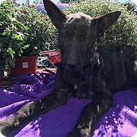 Shepherd (Unknown Type) Mix Puppy for adoption in Detroit, Michigan - Shade