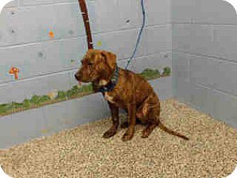 Mastiff/Pit Bull Terrier Mix Puppy for adoption in San Bernardino, California - URGENT ON 10/20 San Bernardino