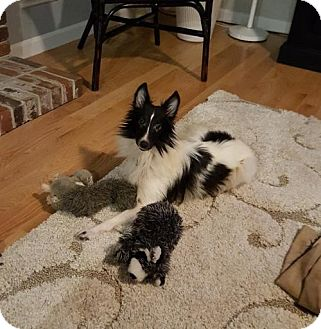 Sheltie, Shetland Sheepdog Dog for adoption in Maryland Heights, Missouri - Tucker