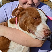 American Bulldog Mix Dog for adoption in Portsmouth, New Hampshire - Sarah