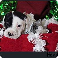 Adopt A Pet :: Hendrix - Tampa, FL
