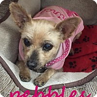 Adopt A Pet :: Pebbles - Scottsdale, AZ