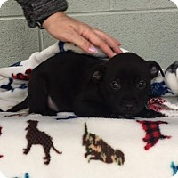 Adopt A Pet :: Jack Daniels - Washington, DC