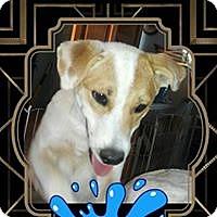 Adopt A Pet :: Boo Boo Bear - San Bernardino, CA