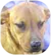 German Shepherd Dog/Labrador Retriever Mix Dog for adoption in Mesa, Arizona - Scrappy