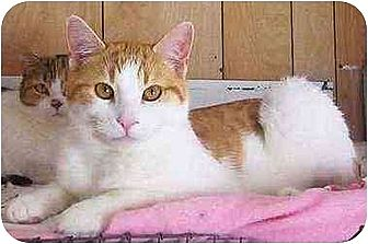 Domestic Shorthair Cat for adoption in Nepean, Ontario - MILES