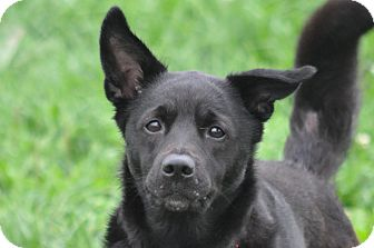 Labrador Retriever/Shepherd (Unknown Type) Mix Dog for adoption in New Cumberland, West Virginia - Mentos