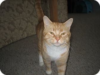 Domestic Shorthair Cat for adoption in East Hanover, New Jersey - Abby