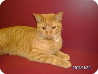 Domestic Shorthair Cat for adoption in Muscatine, Iowa - Oscar
