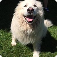 Great Pyrenees Dog for adoption in Freeport, Maine - Kiska