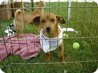 Dachshund/Chihuahua Mix Dog for adoption in Pearblossom, California - Tommy