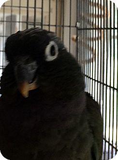 Pionus for adoption in Punta Gorda, Florida - Maggie