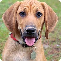 Adopt A Pet :: Gentry - Bedford, VA