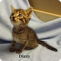 Adopt A Pet :: Dizzy - Bentonville, AR