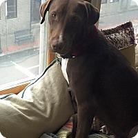 Adopt A Pet :: Shay - Boston, MA