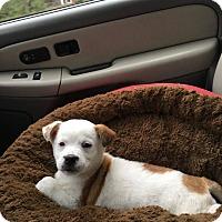 Adopt A Pet :: Snowflake - Manhasset, NY