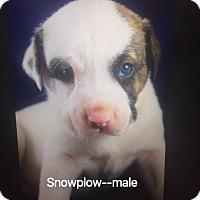 Adopt A Pet :: Snowplow - Daleville, AL
