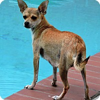 Chihuahua Mix Dog for adoption in La Habra Heights, California - Lita