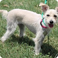Standard Schnauzer/Terrier (Unknown Type, Medium) Mix Puppy for adoption in Spring, Texas - Tiny Tot