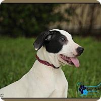 Adopt A Pet :: Blaze - Sarasota, FL