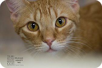 Domestic Shorthair Kitten for adoption in Houston, Texas - KORY