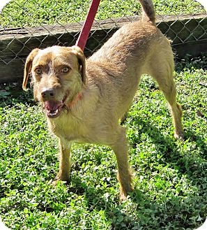 Wirehaired Pointing Griffon/Labrador Retriever Mix Dog for adoption in Georgetown, Texas - Monty