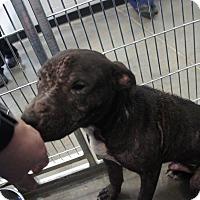 Labrador Retriever Mix Dog for adoption in Henderson, North Carolina - Scrappy