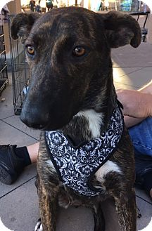 Terrier (Unknown Type, Medium)/Shepherd (Unknown Type) Mix Dog for adoption in Dana Point, California - Cookie