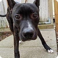 Adopt A Pet :: Hendrix - Seattle, WA