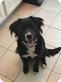 Border Collie/Labrador Retriever Mix Dog for adoption in Northville, Michigan - Lola