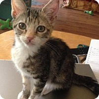 Domestic Shorthair Kitten for adoption in El Cajon, California - Tater