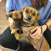 Adopt A Pet :: Sassy - Brea, CA