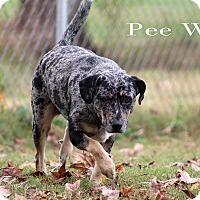 Adopt A Pet :: Pee Wee - Texarkana, AR