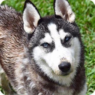 Siberian Husky Dog for adoption in Jupiter, Florida - Giget