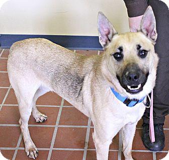 German Shepherd Dog/Husky Mix Dog for adoption in White Cloud, Michigan - Bronco