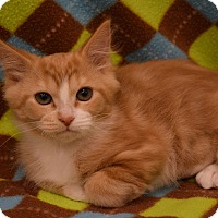 Domestic Shorthair Kitten for adoption in Flushing, Michigan - Mandy 2