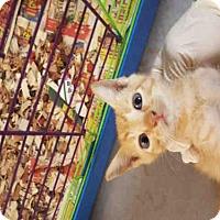 Domestic Mediumhair Kitten for adoption in Jacksonville, Florida - CELERY